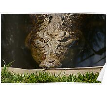 Crocodile Saltwater Poster