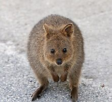 Quokka 11 by Colin White