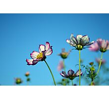 Cosmos Flowers and Blue Sky Photographic Print
