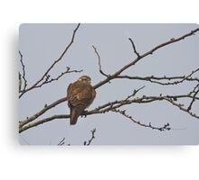 the brown falcon Canvas Print