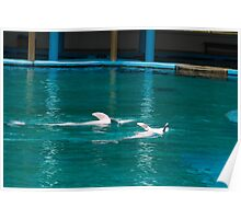 Dolphins swimming upside down Poster