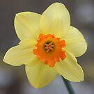 Yellow Daffodil Flower by Peter Barrett