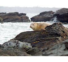 Harbor seal Photographic Print