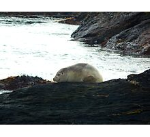 A harbor seal at rest Photographic Print