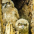Baby Great Horned Owl Siblings by Greg Summers