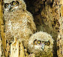 Baby Great Horned Owl Siblings by Gregory J Summers