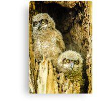 Baby Great Horned Owl Siblings Canvas Print
