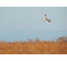 Red tail hawk in flight Photographic Print