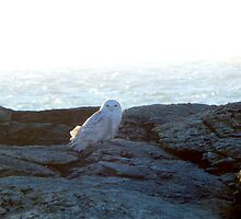 Snowy owl at rest by JayCally