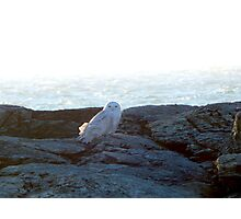 Snowy owl at rest Photographic Print