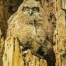 Baby Great Horned Owl - The Stare by nikongreg