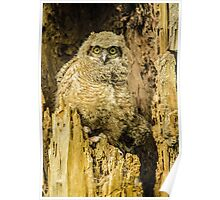 Baby Great Horned Owl - The Stare Poster