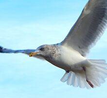 Soaring gull by JayCally