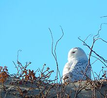 Snowy owl and beach roses by JayCally