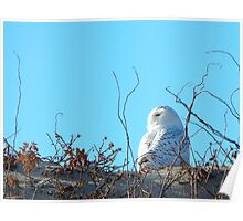 Snowy owl and beach roses Poster