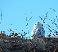 A snowy owl's stare by JayCally
