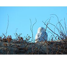 A snowy owl's stare Photographic Print