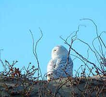 Snow owl by JayCally