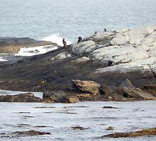 Cormorants on the rocks by JayCally