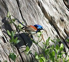 Variegated Fairy Wren  by mncphotography