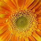 Gerbera Burst by KatMagic Photography