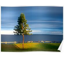 Cottesloe Pine Poster