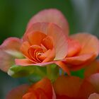 Orange Begonia by Sunchia Milic