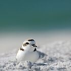 Male Snowy Plover by Heather Pickard