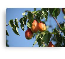 ripe pears Canvas Print