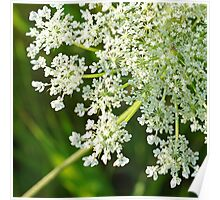 Queen Anne's Lace Close-up 1 Poster