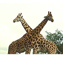 Two Giraffes Crossing Necks Photographic Print
