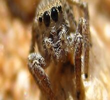 Staring Contest Brown Jumping Spider by Michelle McCullough