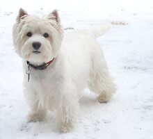 Westie White Winter by MarianBendeth