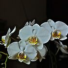 White Phalaenopsis Orchid by Ferenghi