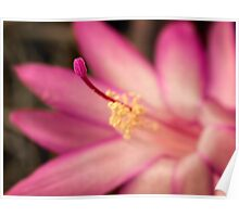 Christmas cactus in pink Poster
