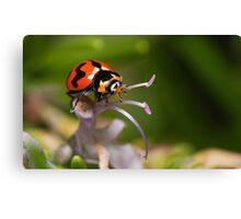 Australian Ladybug or Ladybird, take your pick :) Canvas Print