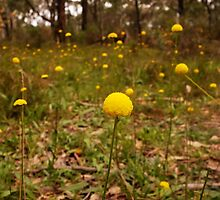 Yellow Button Flowers, Sinclairs Gully, Norton  Summit, Adelaide Hills by Harvey Schiller