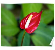 Miniature Deep Red Anthurium Bloom Poster
