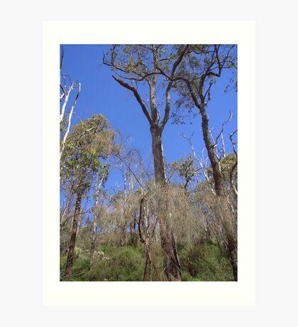 Eucalyptus in Serpentine Forest Art Print