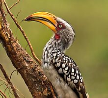Yellow-billed Hornbill by vivsworld