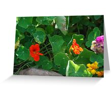 Nasturtium Surprise Greeting Card