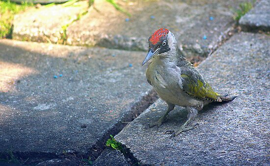 Juvenile Green Woodpecker by relayer51
