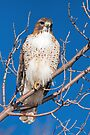 Red-tailed Hawk at Prospect by Eivor Kuchta
