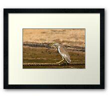Indian Pond Heron Framed Print