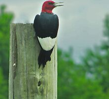 Red-headed Woodpecker (Melanerpes erythrocephalus) by Liam Wolff