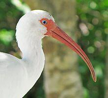 White Ibis (Eudocimus albus) by Liam Wolff