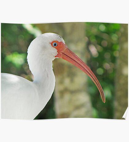 White Ibis (Eudocimus albus) Poster