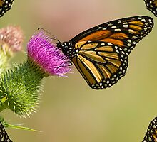 Monarch With Wing Border by Thomas Young