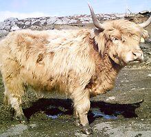 Shaggy Scottish Bull by BlueMoonRose