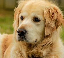 Golden Retriever by Chris Kean